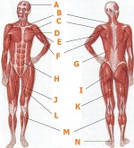 human body muscles test, Muscles